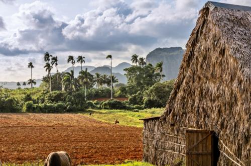 tobacco farm cuba